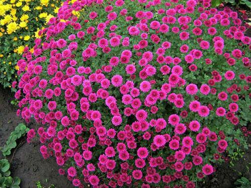 Дрібноквіткова хризантема