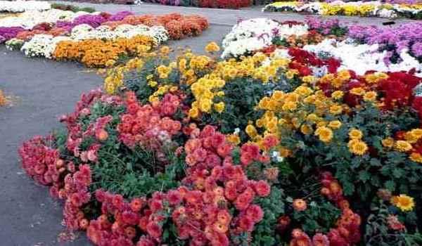 Осінні квіти  – топ-5 «Зеленої Садиби» (част. I)