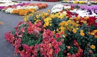 осінні квіти