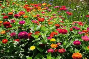 Осінні квіти. Майори (цинії)