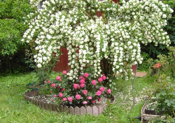 Чубушник (садовий жасмин)