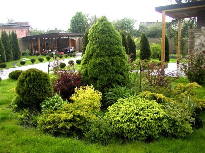 озеленення хвойні рослини