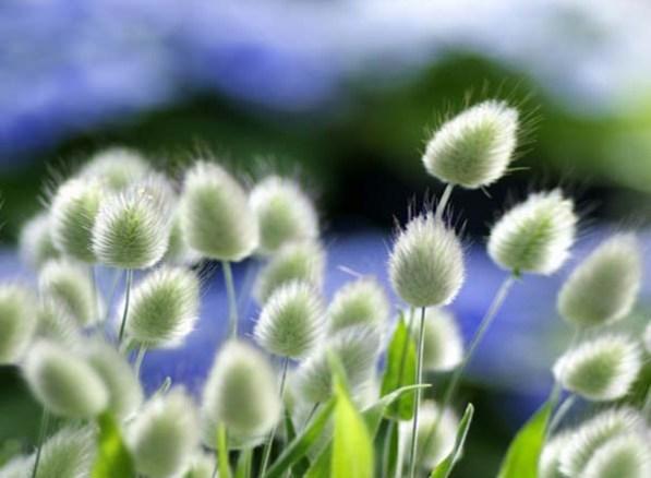 декоративні трави заячий хвіст
