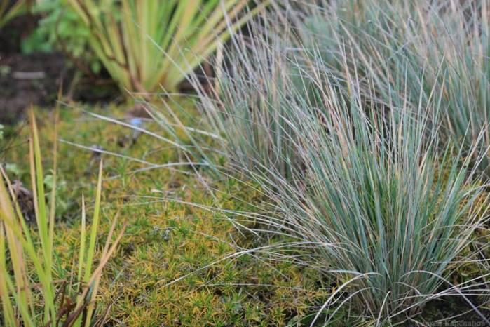 декоративні трави овсець вічнозелений