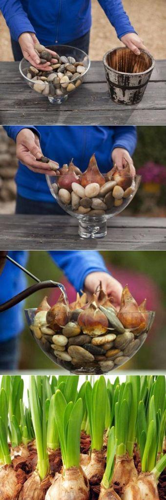 Вирощування тюльпанів без грунту