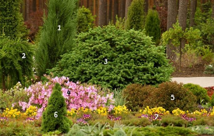 1. Ялівець скельний 'Blue Arrow' 5. Вейгела квітуча 'Purpurea Nana'<br /> 2. Модрина європейська 'Pendula' 6. Ялина канадська 'Conica'<br /> 3. Ялина шорстка 'Compacta' 7. Віола, братки<br /> 4. Рододендрон пукханскій<br /> http://zelenasadyba.com.ua