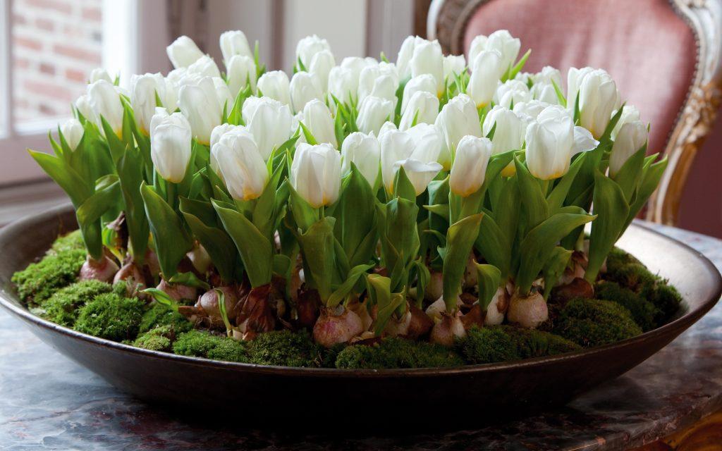 Вирощування тюльпанів вдома без ґрунту