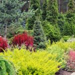 Хвойні рослини в ландшафтному дизайні – 50 фото-схем