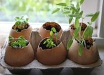 вирощування розсади в шкаралупі фото