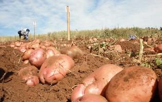 картопля посадкова зображення