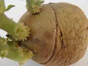 кільцування картоплі перед посадкою зображення