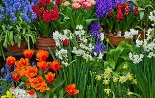 Перші весняні квіти – топ-10 цибулинних