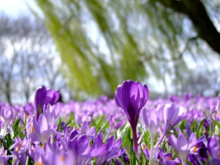 Перші весняні квіти