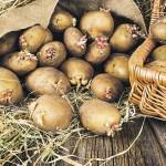 Посадкова картопля — як підготувати?