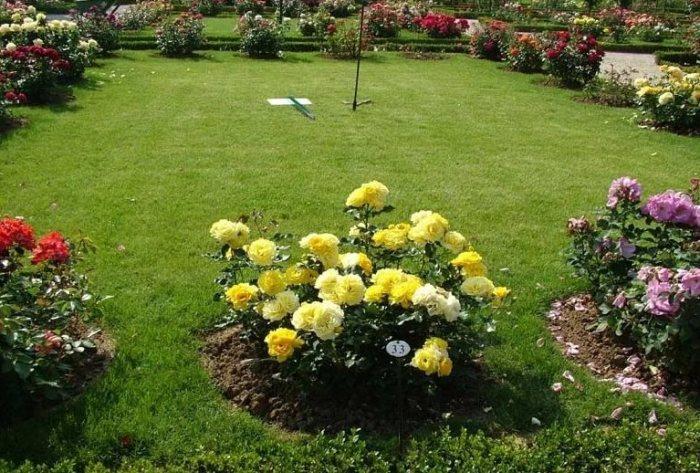 озеленення троянди зображення