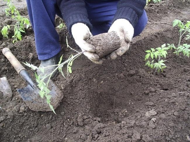 висаджуємо розсаду помідорів зображення