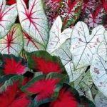 Каладіум – екзотика в оселі і в саду