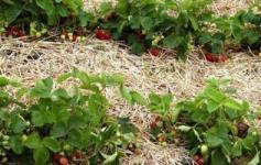 вирощування полуниці під сіном
