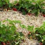 Чим підживити полуницю восени?