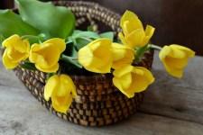 Тюльпани можна вирощувати у відкритому грунті, в теплиці і вдома