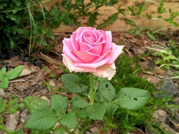 фото рожевої троянди
