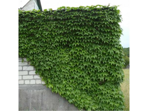 вічі виноград на стіні