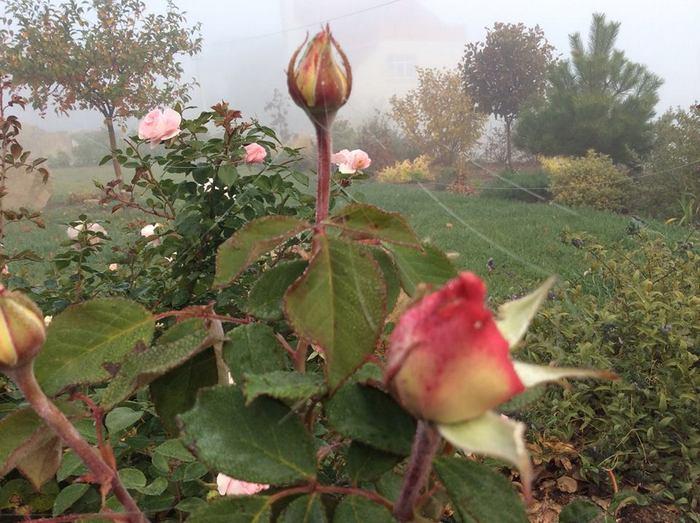 троянди в тумані