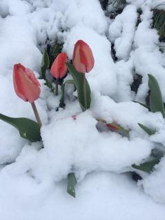 тюльпани в снігу