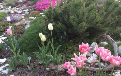 тюльпани і хвойні