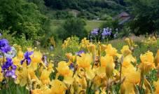 Іриси в саду фото