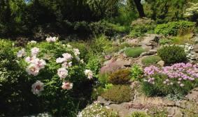 Півонія в саду фото