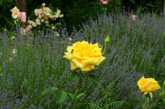 Троянди і лаванда фото