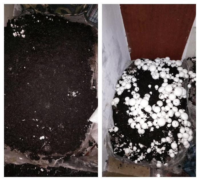 вирощування печериць вдома