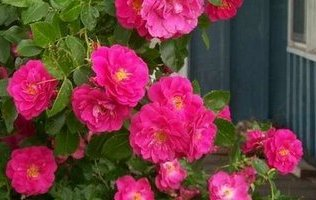 зимостійка троянда