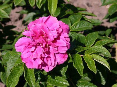 Зимостійка троянда Hansa