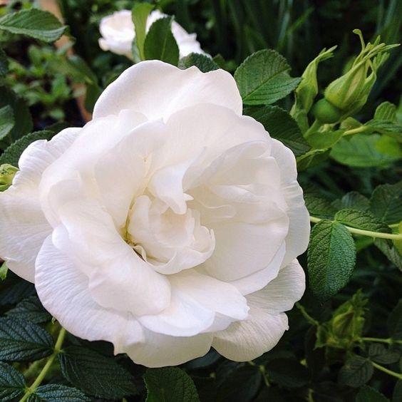 сорт троянди Blanc Double de Coubert