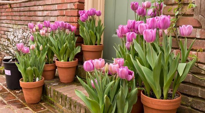 тюльпани в контейнерах