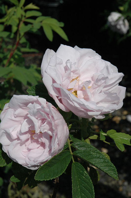 Snow Pavement сорт троянди