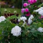 Троянди, які не потребують укриття на зиму – 11 сортів з фото