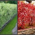 Дерен в саду – красивий і невибагливий