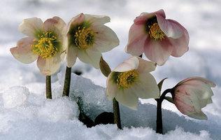 квітка морозник фото