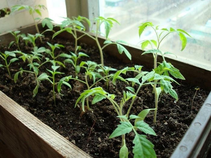 розсада помідорів фото