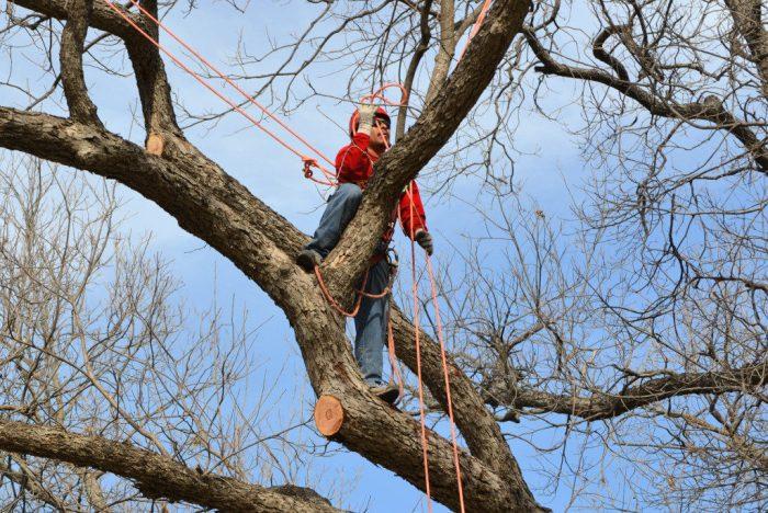 Обрізка високих плодових дерев