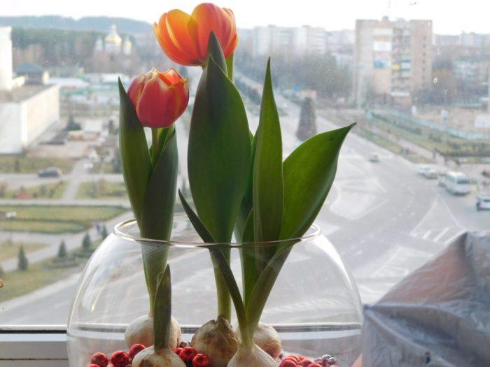 Тюльпани зацвіли на Різдво, 2017 рік