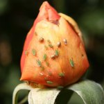 Шкідники троянд і методи боротьби з ними