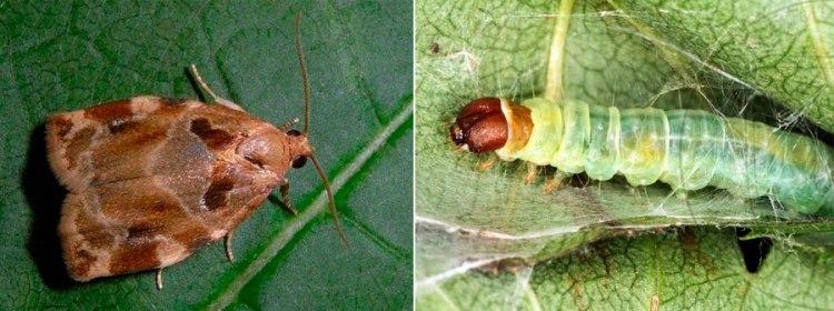 Комаха і гусінь трояндової листокрутки