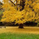 Гінкго дволопатеве — як виростити і розмножити?