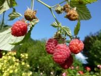 Ремонтантна малина може давати два пристойні врожаї на рік