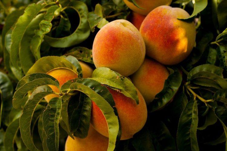 У той період, коли плоди зростають, паралельно проходить і інший дуже важливий процес - закладаються плодові бруньки майбутнього сезону