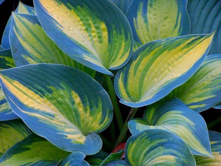 Чим строкатіший сорт, чим контрастніше забарвлення і чим яскравіше проявляються незвичайні відтінки на листках, тим світлолюбніша хоста
